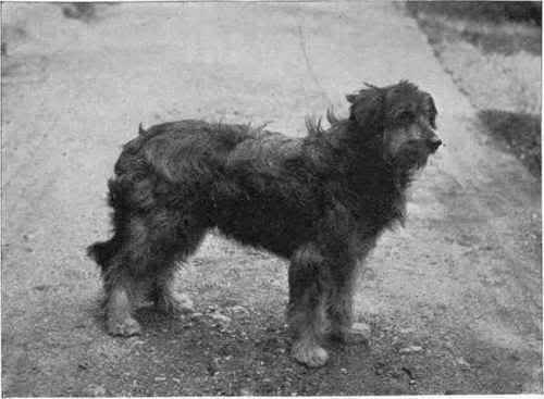 bearded-collie-1898